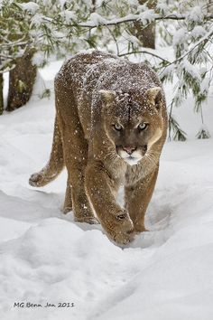 Cougarby Malcolm Benn on 500px #coupon code nicesup123 gets 25% off at  Provestra.com