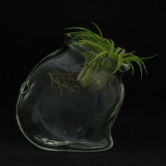 Glass Terrarium Hand Blown Large Double Globe, perfect for air ...