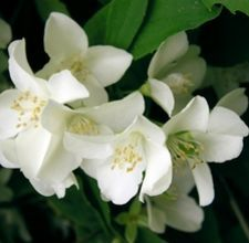 Propagate Jasmine- LOVE the fragrance!