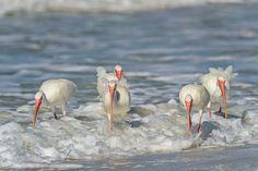 White-Ibis-_Eudocimus-albus_-Tiger-Tail-Beach-Marco-Island-RKing-15-000082-vv-1.jpg (1200×799)