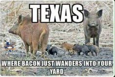 Mini Pig Breeds & Mini Pig Registries: Are You Wasting Your Money? Texas Quotes, Southern Quotes, Texas Humor, Texas Meme, Texas Funny, Texas Bbq, Pig Breeds, Only In Texas, Republic Of Texas