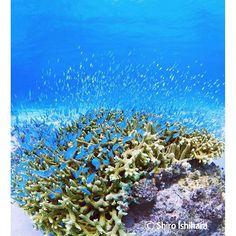 【ishiro61】さんのInstagramをピンしています。 《ニシハマのデバスズメダイ。サンゴに逃げ込む瞬間がまとまってていいかも。#デバスズメダイ#スズメメダイ#白い砂浜#ダイビング#海#慶良間諸島#慶良間#ケラマ#阿嘉島#ケラマブルー#熱帯魚#沖縄#沖縄ダイビング#沖縄旅行#青い海#透明な海#sea#scuba#scubadiving#blue#diving #underwaterdiving#underwaterphotography #instagood#l4l#f4f#followme#kerama》