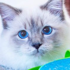 Cant stop looking into these blue gorgeous eyes  #minivaniljerna2017 #apelsin #Figaro #birma #birman #breeder #catsofinstagram #chokladochvanilj #kitten #pinkalicious #topcatphoto #happycatclub #welovecats #we_love_cats #excellent_cats #excellent_kittens #bestcats_oftheworld #birmancats #birmancat #birmavanner #birmanlove #birman_feature #bestmeow