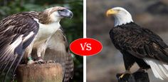 Philippine Eagle vs Bald Eagle Fight