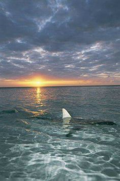 """The fin of a blacktip shark rises above the water's surface at sunset. - The fin of a blacktip shark rises above the water's surface at sunset."""" by National Geographic - Orcas, Save The Sharks, Shark Pictures, Shark Bait, Great White Shark, Mundo Animal, Ocean Creatures, Shark Week, Cthulhu"""