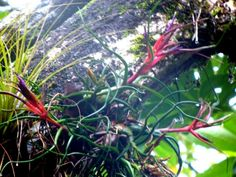 types of air plants | The green to light green tillandsias... with softer leaves are adapted ...