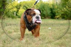 Studded #Dog #Harness for #English #Bulldog with #Leather Chest Plate Padded $149.00 | www.all-about-english-bulldog-dog-breed.com