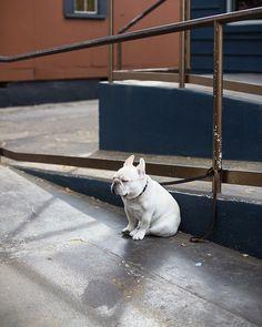 French Bulldog Waiting - Feature Shoot