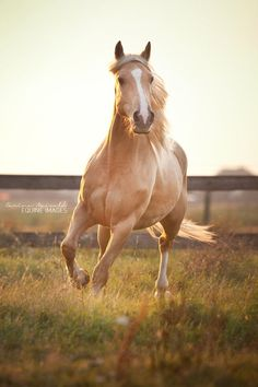 Criollo Rubio by *equine-images beautiful horses Most Beautiful Horses, All The Pretty Horses, Beautiful Creatures, Animals Beautiful, Cute Animals, Cute Horses, Horse Love, Horse Photos, Horse Pictures