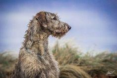 Irish wolfhound. By Cernohubova.