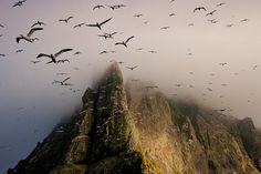Borerary, St. Kilda, Scotland - Thousands of Gannetts fly out from Boreray, part of the St, Kilda  group of islands famed for its fantastic bird colonies.  Uninhabited,  remote and wild, it was the site of incredible feats of cliff climbing  by the St. Kildans who hunted the birds.