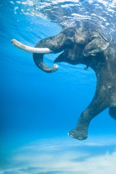 Yes elephants can swim. Bet you would have never thought so. This photo captures the raw beauty of the majestic animal and how it is different and unique. #love_elephants ✌️✌️✌️