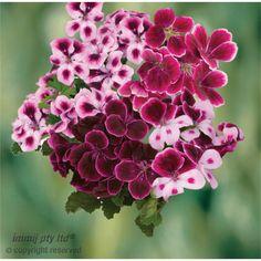 Geranium 'Passions Range' Pelargonium