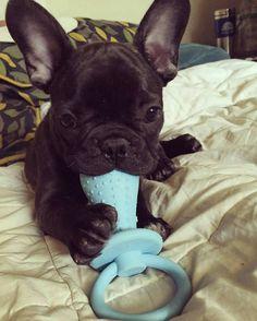 French Bulldog Puppy ❤ @pabalouza More