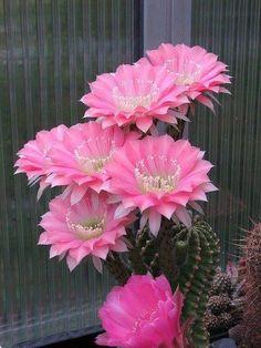 Echinopsis BY:@Éva Nagy-Kálózdi