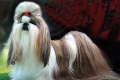 ▷ Shih-Tzu cómo arreglar PASO a PASO ✔️ Shih Tzu, Dogs, Animals, Ferrets, Haircuts, Gatos, Animales, Animaux, Animal Memes
