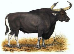Kouprey is an original Khmer animal.It is similar to the gaur or banteng but Kouprey are have a very long dewlap hanging from the neck. Hunting of Kouprey was stopped in 1960.