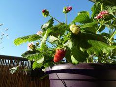 Gemüse & Naschen: Erdbeeren: Ernte bei den älteren, erste Blüten bei...