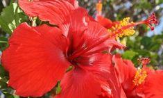 31 Ideas For Flowers Red Shrubs