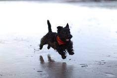 scottish terrier on the beach, co. Kerry