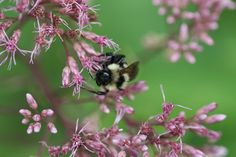 Bumble bee on joe-pye weed (Eupatorium fistulosum). Photo Gallery of North Carolina Pollinators. Photo by Debbie Roos, Agricultural Extension Agent. all rights reserved