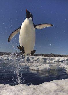 ペンギン「俺は跳べるぞ」躍動感みなぎる高い跳躍力を魅せる写真が撮影される