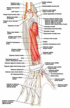 Ovid: Lippincott Williams & Wilkins Atlas of Anatomy Human Anatomy Drawing, Anatomy Study, Nerve Anatomy, Hand Anatomy, Forearm Muscle Anatomy, Upper Limb Anatomy, Radial Nerve, Body Diagram, Gross Anatomy