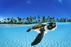 Baby Green Sea Turtle in French Polynesia David Doubilet's photo of a baby sea turtle paddling toward the open sea off the Nengonengo Atoll in French Polynesia is cute. Pesca Sub, Baby Sea Turtles, Turtle Baby, Ninja Turtles, Turtle Swimming, Turtle Love, Green Turtle, Tiny Turtle, Happy Turtle