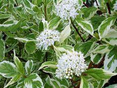 Cornus alba 'Elegantissima' 4