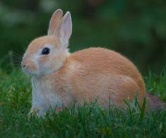 rabbits   Basic Information for European Rabbits « LafeberVet.com