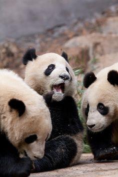 Panda cubs at feeding time