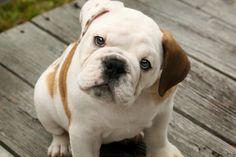English Bulldog Puppies just like that? Kenneth's favorite list of english bulldog puppies options. American Bulldog Puppies, English Bulldog Puppies, English Bulldogs, British Bulldog, Bulldog Breeds, Cute Puppies, Cute Dogs, Dogs And Puppies, Doggies