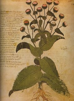 Vienna Dioscorides c512 produced in Byzantium (Constantinople). Pharmacological work illustrating numerous plants and describing their healing powers.