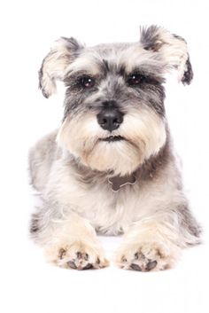 Can confirm all about the Miniature Schnauzer.