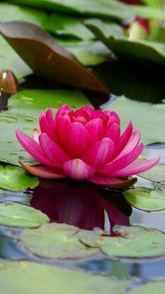 Lotus, flower, pink, leaf, lake, 720x1280 wallpaper