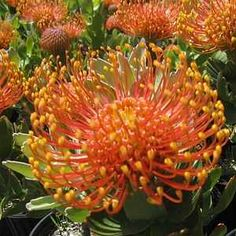 Leucospermum cordifolium 'Flame Giant' at San Marcos Growers