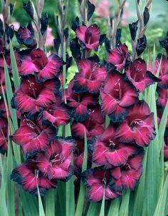 Gladiolus 'Belle de Nuit'                                                                                                                                                                                 More