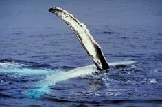Facts About Humpback Whales for Kids