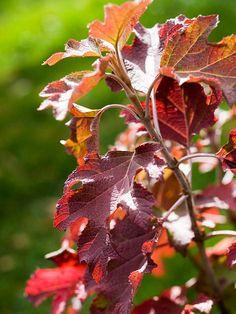 Fall Color on Oakleaf Hydrangeas
