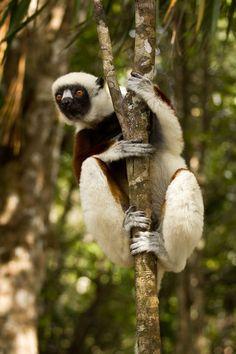 Sifaka Lemur, Madagascar