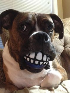 I gotz new dentures.  How you like dem?  Better to eat with.....
