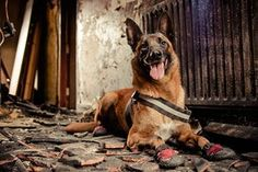 A service dog from the West Midlands fire brigade, photographed by Robert James Dray from the UK, has won second place in the dogs at work category