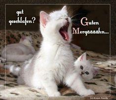 tomorrow, all already awake- morgen,alle schon wach Good Morning. Cute Kittens, Baby Kittens, Cats And Kittens, Black And White Kittens, White Cats, Cute Baby Animals, Animals And Pets, Kitten Play Collar, British Shorthair Kittens