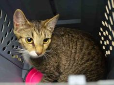 SALLY CAT - A1035723 ***TO BE DESTROYED - 05/18/15 -RESCUE ONLY*** To rescue a Death Row Cat, Please read this:http://information.urgentpodr.org/adoption-info-and-list-o…/ To view the full album, please click here: http://nyccats.urgentpodr.org/tbd-cats-page/ - http://nyccats.urgentpodr.org/tbd-040915/