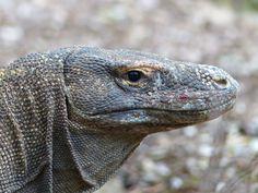 Varanus komodoensis [Komodo Dragon] | Flickr - Photo Sharing!