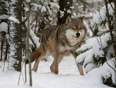 life cycle of a wolf - Google Search Life Cycles, Husky, Wolf, Google Search, School, Animals, Animales, Animaux, Wolves