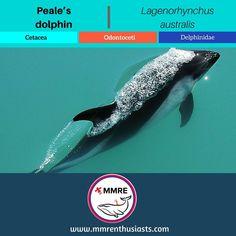 Specie Profile  English Name: #Pealesdolphin Scientific Name: #Lagenorhynchusaustralis  Class: #MarineMammal  Order: #Cetacea  Sub-Order: #Odontoceti  Family: #Delphinidae  Type: #dolphin        Study Options  #MarineScience #MarineBiology #MarineConservation #MarineEcology #Mammalogy       Career Paths  #Veterinarian #Biologist #Ecologist #Aquarist #Scientist      Where to see?  #Valdivia # TierradelFuego #SouthAmerica #Chile #Argentina       Experience the feelings!  #Wildlife #Adventure…