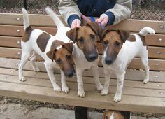 Smooth Fox Terriers. Obsessed.
