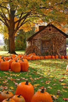 The Pumpkin Patch. A Great Halloween Tradition: Selecting Pumpkins in New England.