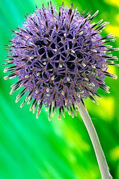 Flowers Flowers Flowers...    Echinops